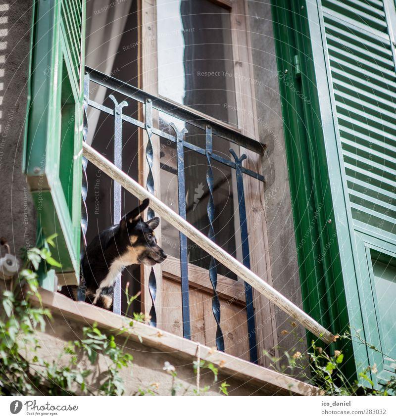 Große Klappe Hund Ferien & Urlaub & Reisen Tier Fenster klein Fassade Tourismus Ausflug Dorf Haustier Aggression Mallorca Altstadt laut bevölkert Bellen