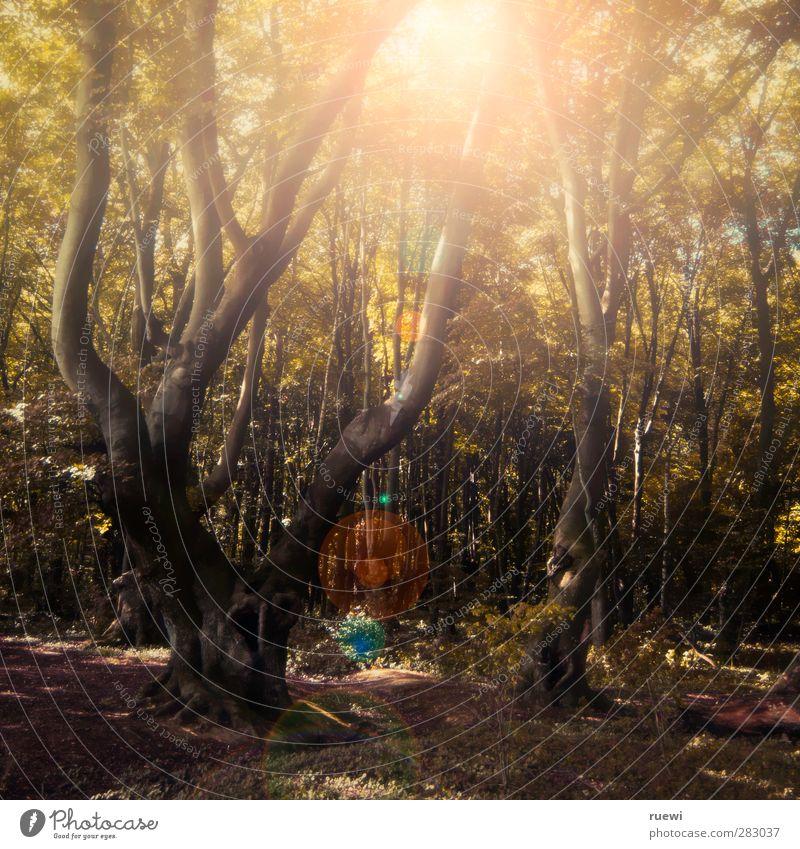 Strahlt ein Lichtlein im Walde Natur Pflanze grün Sommer Sonne Baum Erholung Landschaft ruhig Umwelt gelb Herbst Holz braun Erde