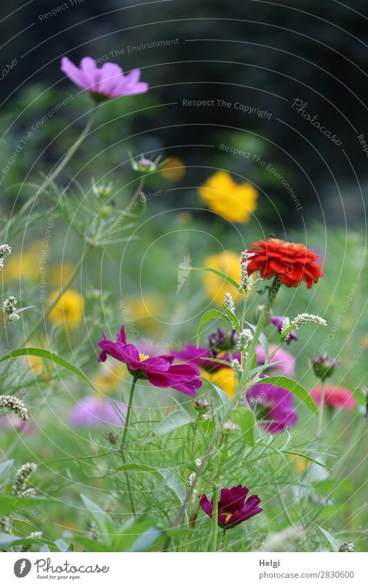 viele bunte Sommerblumen auf einer Blumenwiese Umwelt Natur Pflanze Schönes Wetter Blatt Blüte Schmuckkörbchen Park Blühend Wachstum Duft schön einzigartig