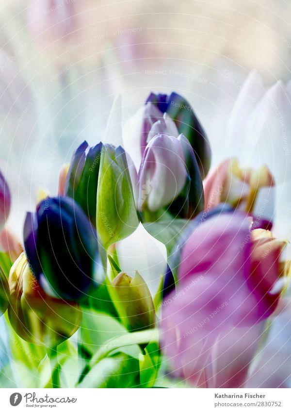 Tulpen Lila pink gelb Natur Sommer Pflanze grün weiß Blume Blatt Winter Herbst Blüte Frühling Kunst orange rosa Dekoration & Verzierung