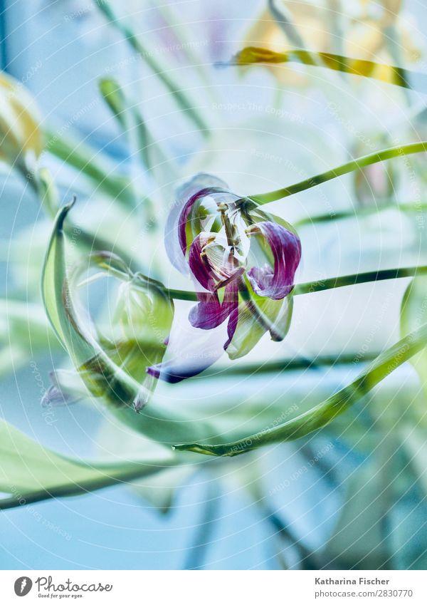 Tulpe verblüht malerisch Kunst Natur Pflanze Frühling Sommer Herbst Winter Blume Blatt Blüte Blumenstrauß Blühend leuchten schön gelb gold grün violett orange