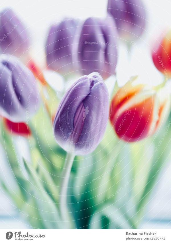 Tulpen lila orange Blüten Kunst Natur Pflanze Frühling Sommer Herbst Winter Blume Blatt Blumenstrauß Blühend leuchten gelb grün violett rosa rot türkis weiß