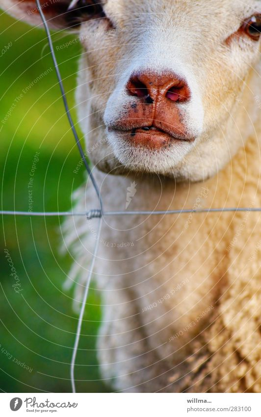 Schaf hinter Gittern beobachten Blick Neugier niedlich Schnauze feucht feuchtkalt Fell Zaun Drahtzaun gefangen Farbfoto Außenaufnahme Tierporträt Nutztier
