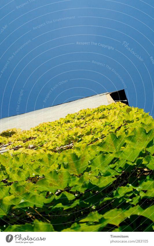 Es geht aufwärts! Haus Pflanze Blatt Grünpflanze Wilder Wein Heidelberg Mauer Wand Wachstum einfach natürlich blau grün weiß Gefühle Optimismus Vertrauen