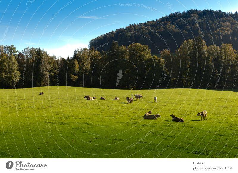 Kühe auf der Weide Himmel Natur blau Ferien & Urlaub & Reisen grün Sommer Tier Landschaft Wald Wiese Berge u. Gebirge Gefühle Zufriedenheit Tourismus Europa Schönes Wetter