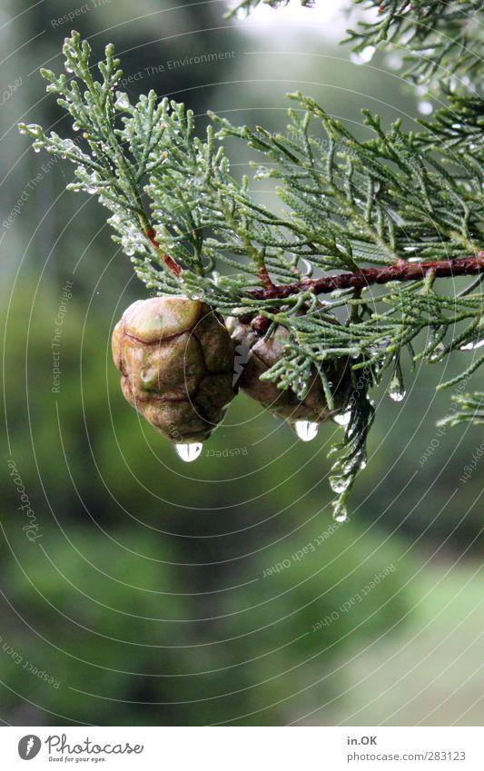Doppeltes Lottchen Natur grün Baum braun Regen Wassertropfen Tropfen hängen