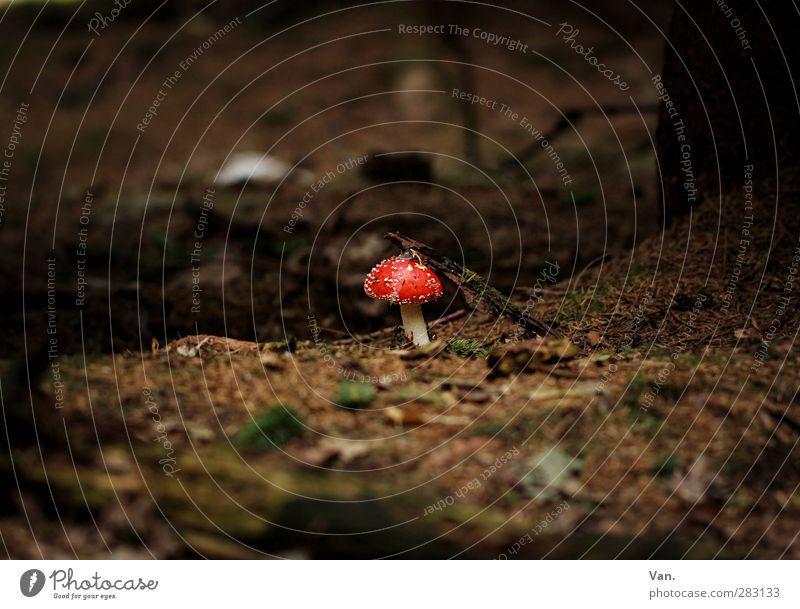 Ein Männlein steht im Walde... Natur Pflanze Erde Herbst Pilz Fliegenpilz Blatt Tannennadel Zweig braun rot Gift Farbfoto Gedeckte Farben Außenaufnahme