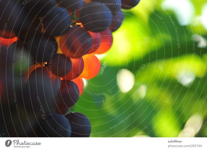 Von der Sonne verwöhnt Frucht Ernährung Wein Schönes Wetter grün rot Weinberg Weintrauben Sonnenstrahlen Rotwein Beeren Farbfoto Experiment Menschenleer