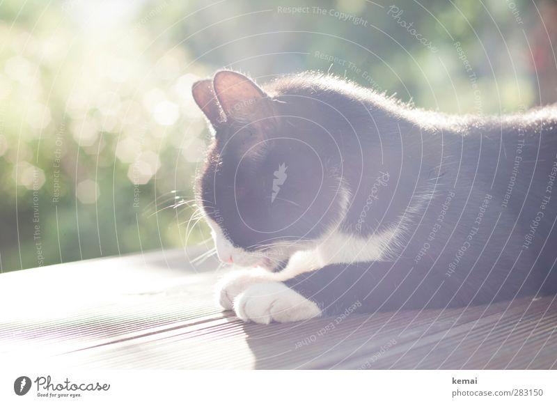 Sonne auf dem Pelz Terrasse Schönes Wetter Sträucher Garten Tier Haustier Katze Fell Pfote Ohr 1 liegen hell schwarz Zufriedenheit Gelassenheit ruhig Reinigen