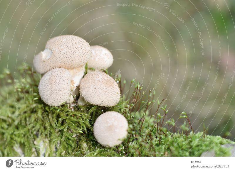 Boviste II Umwelt Natur Pflanze Schönes Wetter Moos Wildpflanze grün weiß Pilz Bovisten mehrere Farbfoto Außenaufnahme Nahaufnahme Makroaufnahme Menschenleer