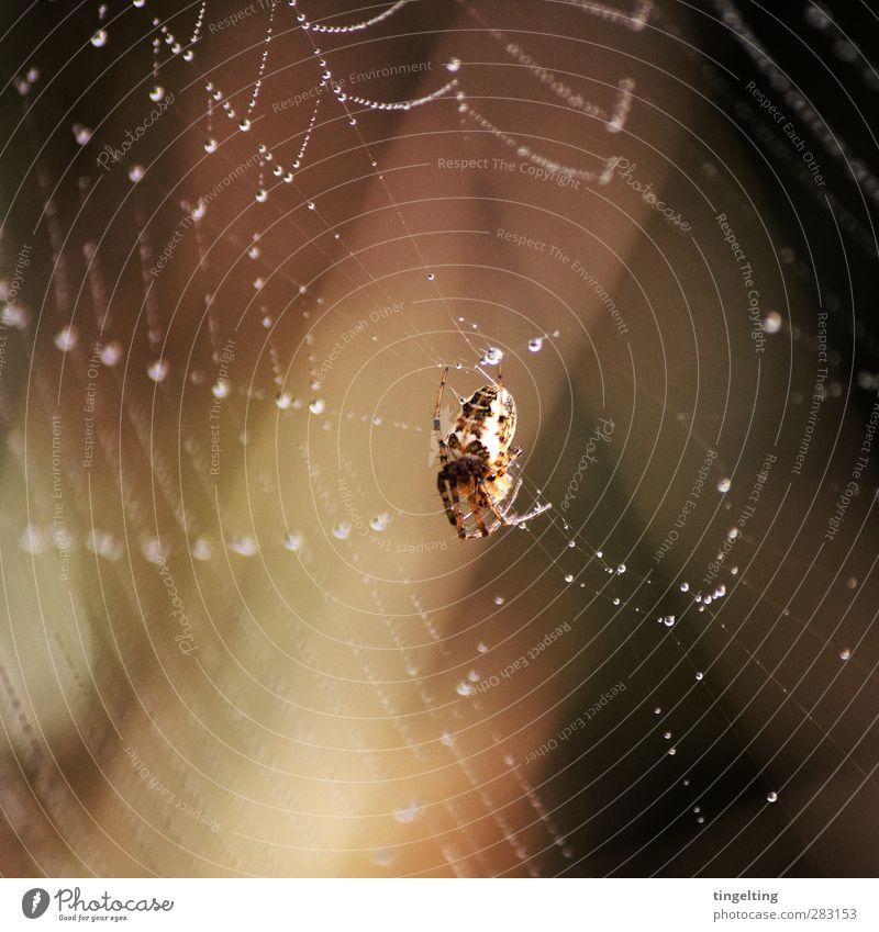 abhängen Natur Wasser Tier Wärme klein braun Arbeit & Erwerbstätigkeit gold glänzend Wassertropfen schlafen berühren Mitte krabbeln Spinne Spinnennetz