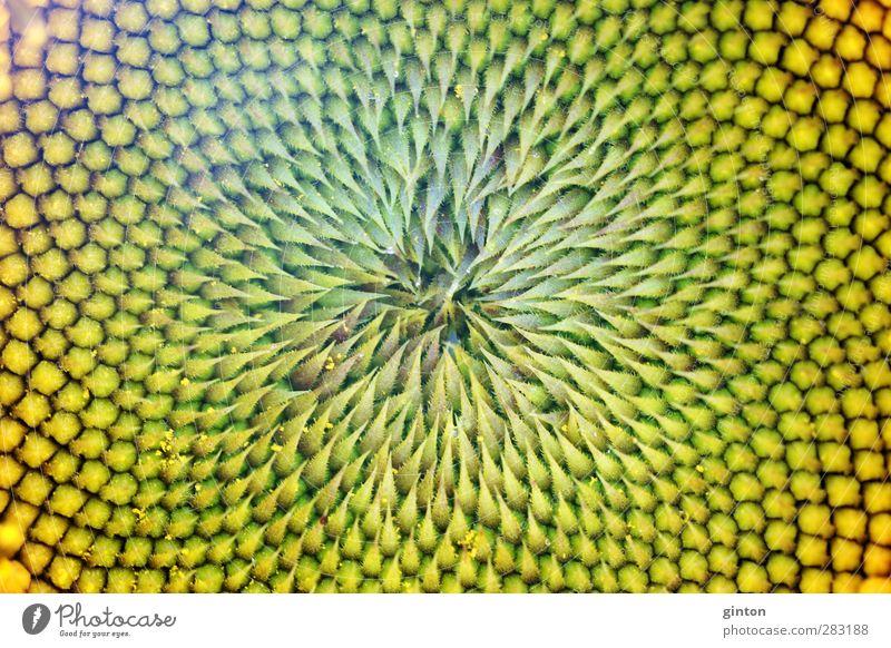 Sonnenblumen Hintergrund Natur grün Pflanze Blume gelb Blüte natürlich Blühend fest exotisch Nutzpflanze