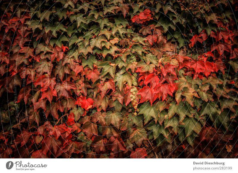 Lieblingsjahreszeit Natur grün Pflanze rot Tier Blatt schwarz Wald gelb Herbst Garten Park orange Wein Jahreszeiten Herbstlaub