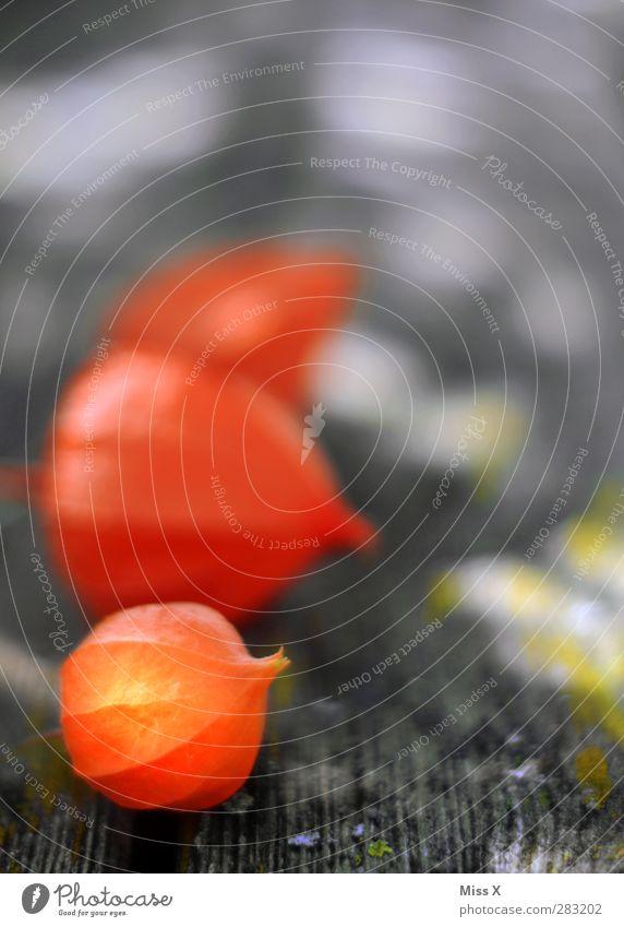 Lampionblume Herbst Pflanze Blume Blüte rot Physalis Holz Farbfoto mehrfarbig Nahaufnahme Menschenleer Textfreiraum oben Schwache Tiefenschärfe