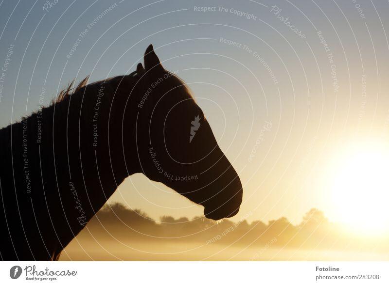 Gestatten: Hotte, Hotte Hüh Umwelt Natur Pflanze Tier Himmel Wolkenloser Himmel Sonne Herbst Schönes Wetter Nebel Baum Pferd Tiergesicht Fell 1 hell kalt