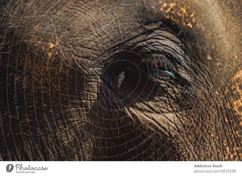 Großer Elefant mit geschlossenem Auge Natur groß wild Tier Nahaufnahme Park Tierwelt Säugetier natürlich Ferien & Urlaub & Reisen Chiangmai Haut Safari niedlich