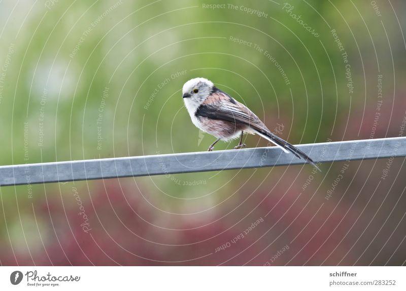 Gelände(r)gängig schön Einsamkeit Tier klein Vogel Wildtier Treppengeländer Singvögel Meisen