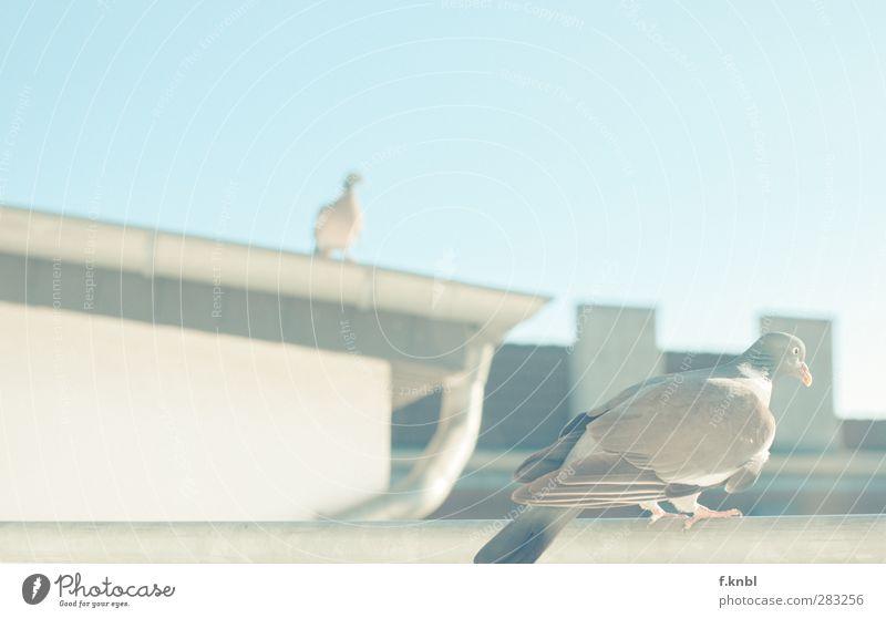 Tauben-Gang Stadt Sommer Erholung Haus Tier Umwelt Gebäude Deutschland Vogel Tierpaar sitzen Flügel beobachten Schönes Wetter Dach Bauwerk