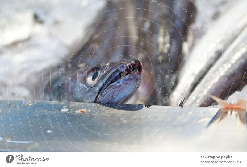 Toller Hecht Fisch Ferien & Urlaub & Reisen Handel Nutztier Totes Tier Tiergesicht 1 Tod tiefgekühlt speisefisch Fischmarkt Supermarkt tiefkühltheke frisch