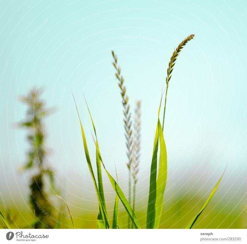 Wiese Natur Pflanze Blume Blatt Wiese Gras träumen wild Wachstum frisch weich Blühend Kräuter & Gewürze Schilfrohr Halm Samen
