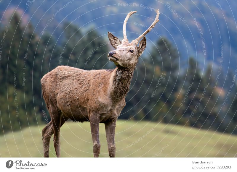ich bin! Natur grün Baum Tier Landschaft Wald Wiese Berge u. Gebirge Gras braun natürlich Wildtier groß stehen Alpen Hügel