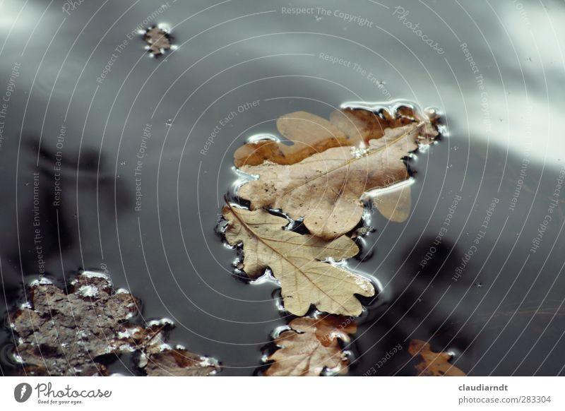 Wassereiche Umwelt Natur Pflanze Herbst Blatt Eichenblatt Teich Schwimmen & Baden alt trocken Herbstlaub herbstlich Pfütze Oberflächenspannung untergehen ruhig