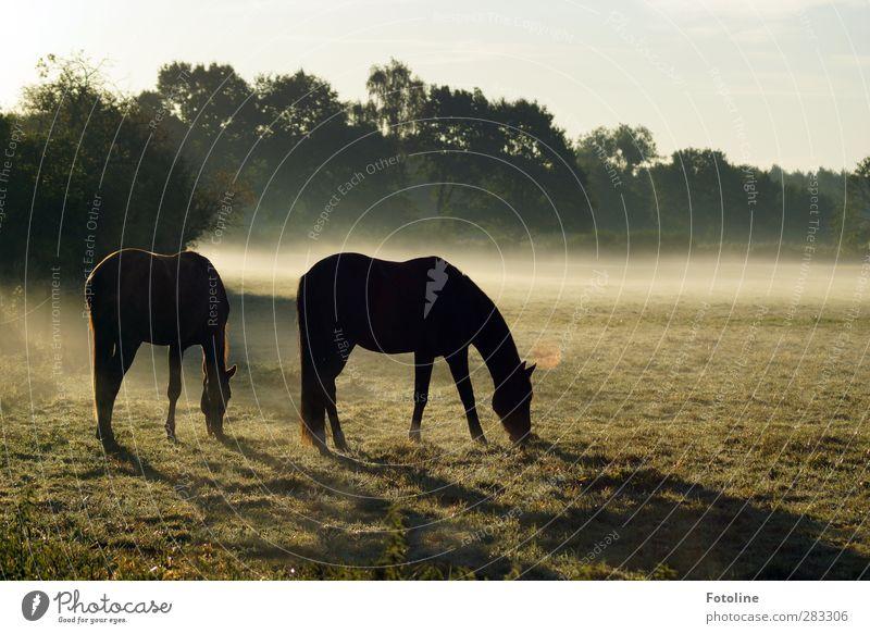 früh, so früh Umwelt Natur Landschaft Pflanze Tier Himmel Wolkenloser Himmel Herbst Nebel Baum Gras Wiese Feld hell kalt natürlich Pferd Weide Fressen Farbfoto