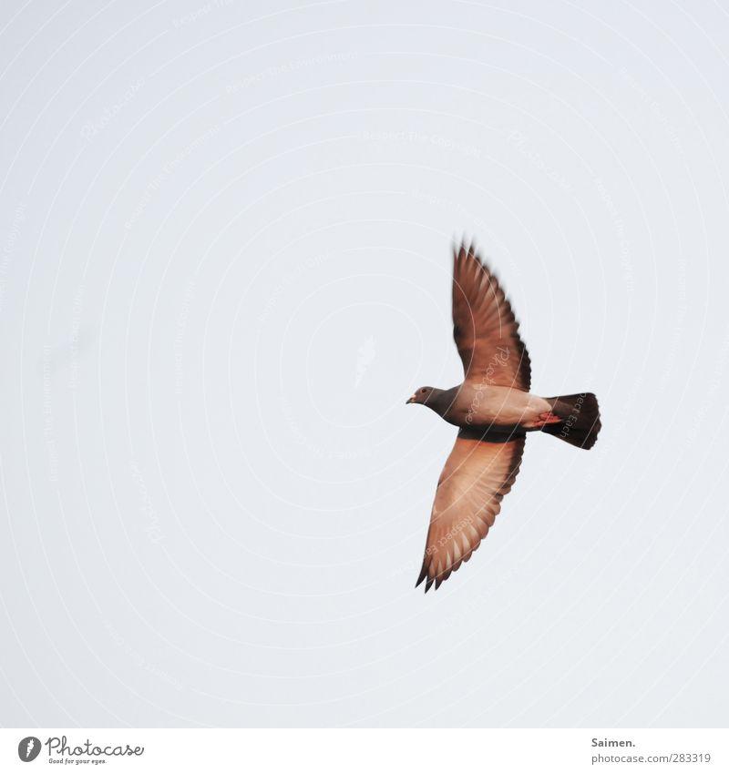 taubö Natur Luft Tier Vogel 1 fliegen Freiheit Taube Himmel Flügel Feder Farbfoto Außenaufnahme Textfreiraum links Textfreiraum oben Tag Licht Vogelperspektive