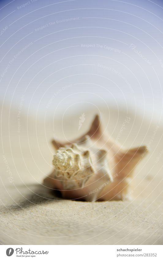 Strand - gemogelt Sand Küste Meer Schnecke Schneckenhaus Weichtier ruhig Einsamkeit Horizont Schale Farbfoto Nahaufnahme Makroaufnahme Menschenleer
