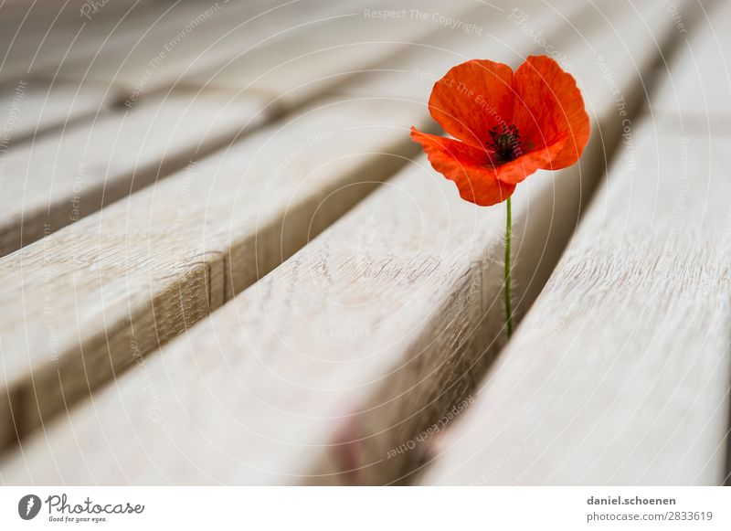durch die Bank Umwelt Natur Pflanze Blume Blüte Holz rot einzigartig Überleben Wachstum Klatschmohn Mohnblüte Gedeckte Farben Menschenleer Textfreiraum links