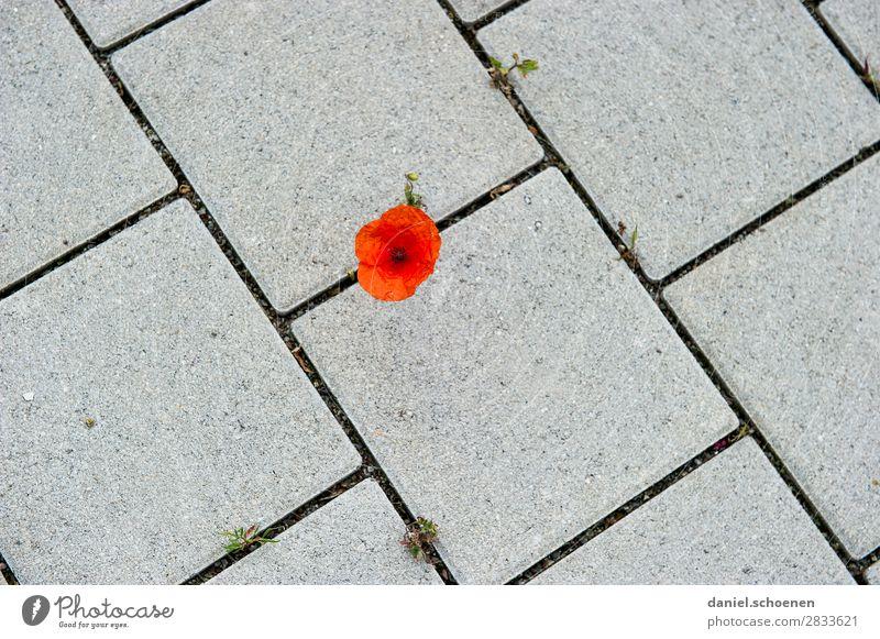 schräges Pflaster Natur Pflanze Blume Stein Linie Beginn einzigartig Überleben Stadt Mohn Mohnblüte Gedeckte Farben Nahaufnahme Detailaufnahme Menschenleer