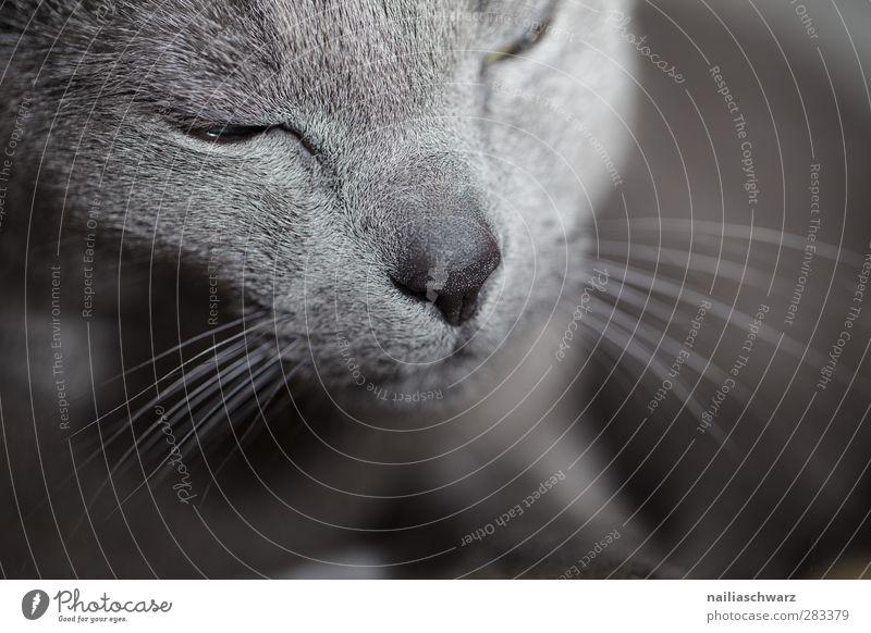 Katze Katze blau schön Tier ruhig Erholung grau träumen Stimmung Zufriedenheit elegant schlafen niedlich Gelassenheit Haustier Tierliebe