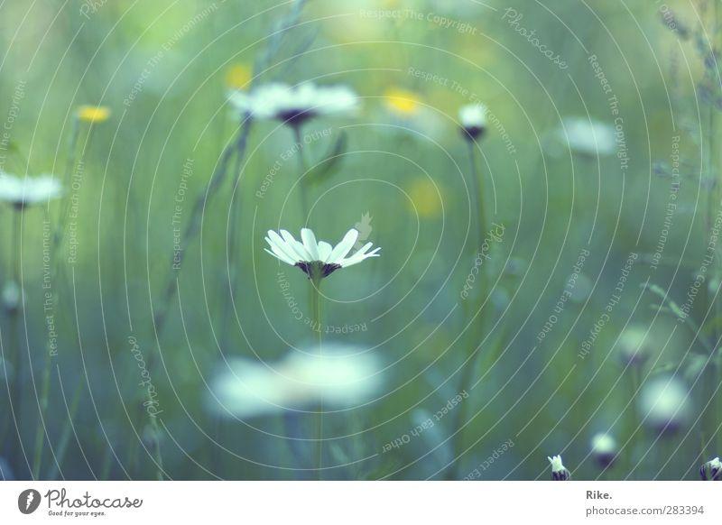 Im Frühling. Umwelt Natur Pflanze Sommer Blume Gras Blüte Wildpflanze Gänseblümchen Garten Wiese Blühend Wachstum frisch natürlich schön grün Glück