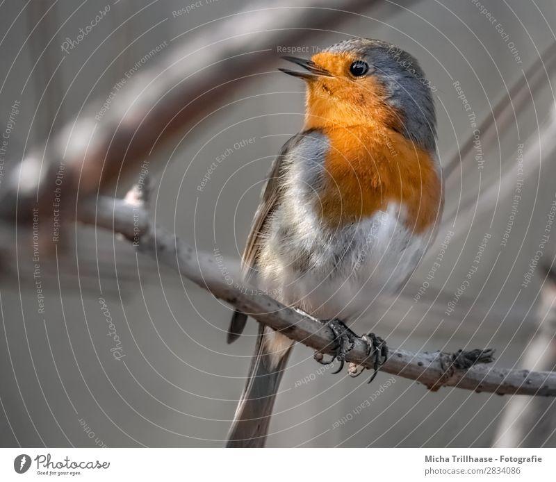 Zwitscherndes Rotkehlchen Natur Farbe weiß Baum Tier schwarz gelb Auge natürlich orange Vogel leuchten Wildtier Feder Schönes Wetter Flügel
