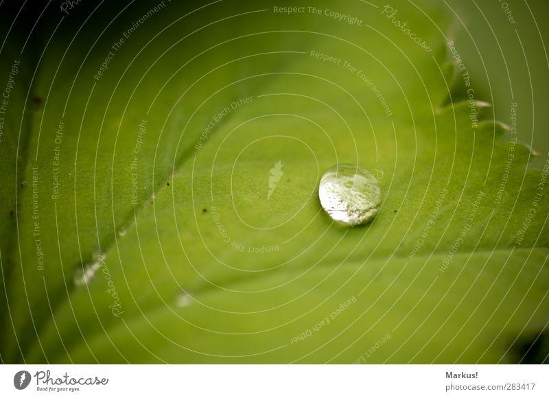 Tears from Heaven Natur Wassertropfen Pflanze Blatt Grünpflanze Garten schön weich grün Frieden ruhig Zusammenhalt Farbfoto Außenaufnahme Detailaufnahme