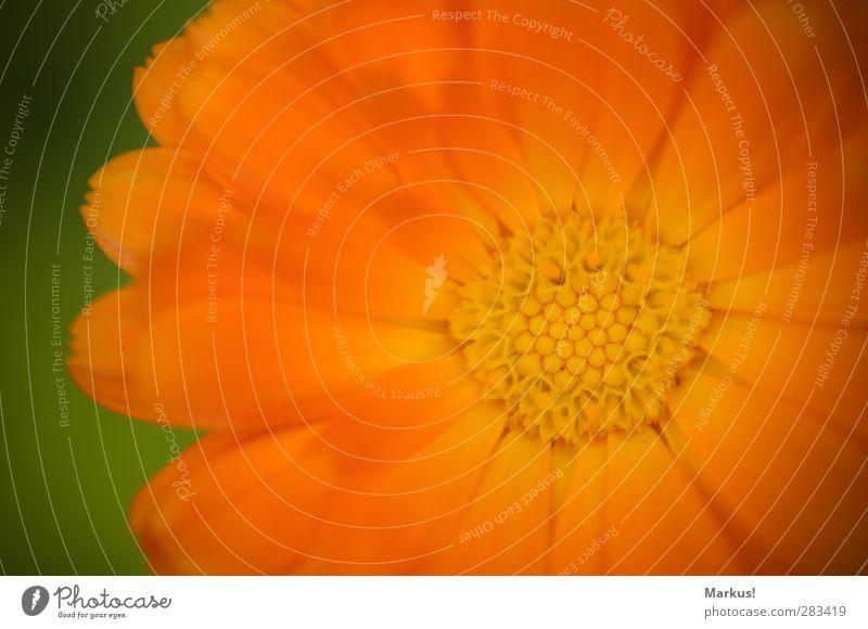 Die Sonne im Garten Natur Pflanze Blume Blüte exotisch Blühend Duft schön orange Farbfoto Außenaufnahme Menschenleer Textfreiraum links Textfreiraum oben