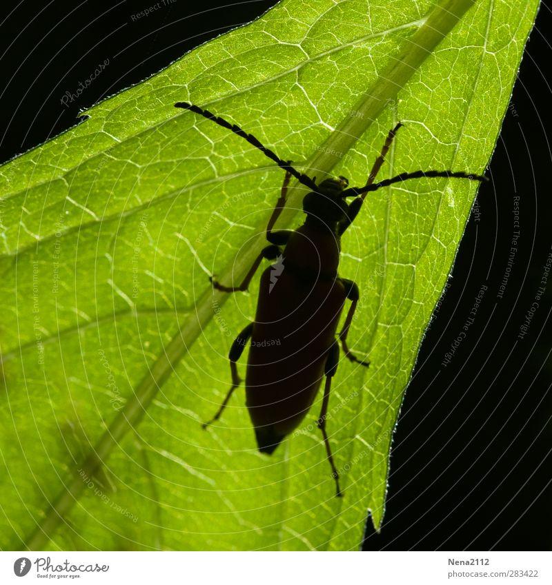 Krabbelmonster in Gegenlicht Umwelt Natur Pflanze Tier Baum Blatt Grünpflanze Garten Park Wiese Feld Wald Käfer 1 krabbeln grün schwarz Insekt Kontrast
