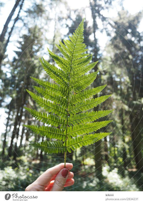 Farn Hand Finger Natur Pflanze Sonnenlicht Sommer Baum Blatt Grünpflanze Wald braun grün festhalten Gegenlicht leuchten filigran Nagellack Farbfoto