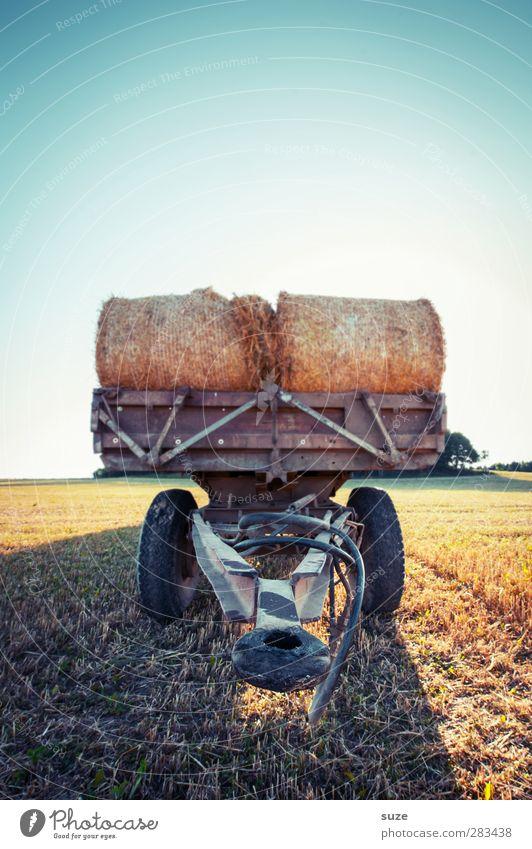 Anhänglicher sucht Gefährtin Getreide Sommer Landwirtschaft Forstwirtschaft Umwelt Natur Landschaft Himmel Horizont Schönes Wetter Wärme Nutzpflanze Feld