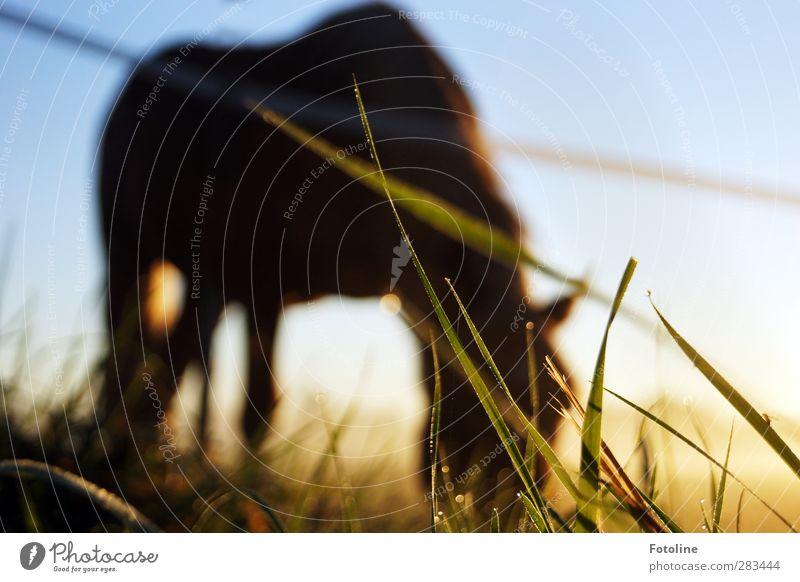 Grashalm in Gefahr Umwelt Natur Pflanze Tier Urelemente Wasser Wassertropfen Himmel Wolkenloser Himmel Herbst Wiese Haustier Pferd frisch hell nass Weide