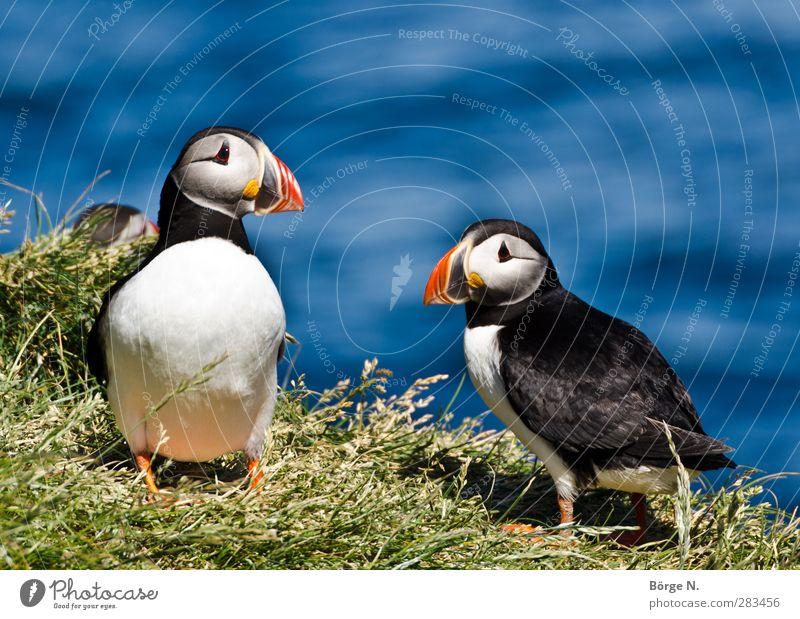 Puffins Natur blau grün rot Tier schwarz Umwelt Gras Küste Vogel außergewöhnlich Wildtier elegant Schönes Wetter Hügel Tiergesicht