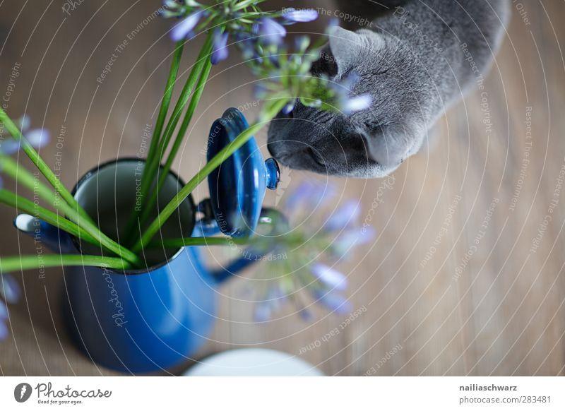 Stilleben mit Katze Pflanze Blume Tier Haustier 1 Kaffeekanne ästhetisch blau braun grau grün silber Geruch russisch blau Stillleben Vase alt Metall Farbfoto