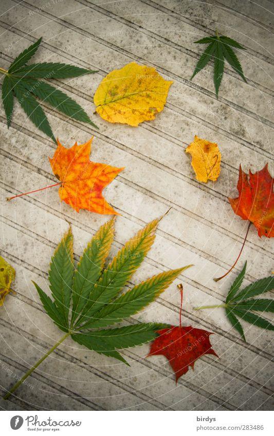 Es herbstlt Pflanze Herbst Hanf Blatt Gartentisch leuchten ästhetisch außergewöhnlich mehrfarbig Laster Freude genießen einzigartig Vergänglichkeit Herbstlaub