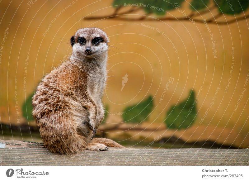 Unbenannt #5 Umwelt Natur Erde Tier Wildtier Zoo Erdmännchen 1 beobachten Blick Tapferkeit Sicherheit Schutz Farbfoto Außenaufnahme Menschenleer Tag