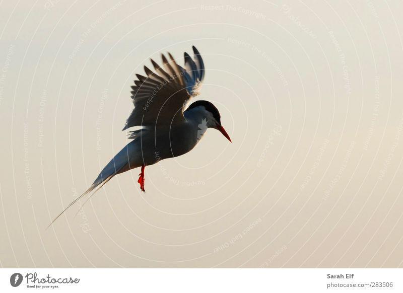 Uferseeschwalbe Himmel blau schön weiß Sommer Tier Leben Bewegung Freiheit Luft Vogel natürlich außergewöhnlich orange fliegen Wildtier