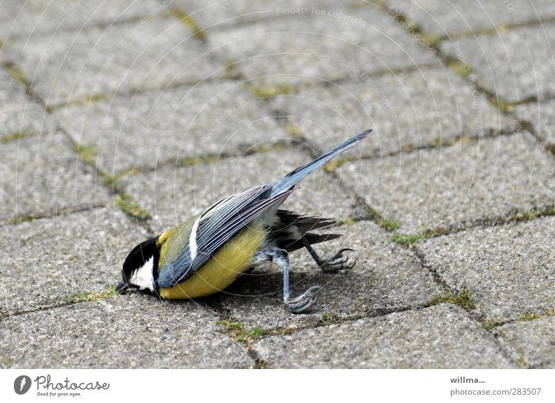 meise tod bruchlandung Vogel Krallen Kohlmeise liegen Erschöpfung Misserfolg Tod Überleben Absturz Sturzflug Bruchlandung Bauchlandung abgestürzt Pflastersteine