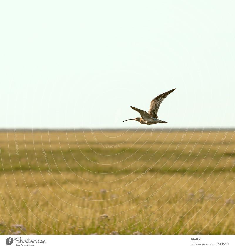 Wohin. Umwelt Natur Landschaft Gras Wiese Nordsee Salzwiese Koog Groden Feuchtwiese Tier Vogel Watvögel Uferschnepfe Schnepfenvögel Brachvogel 1 fliegen frei