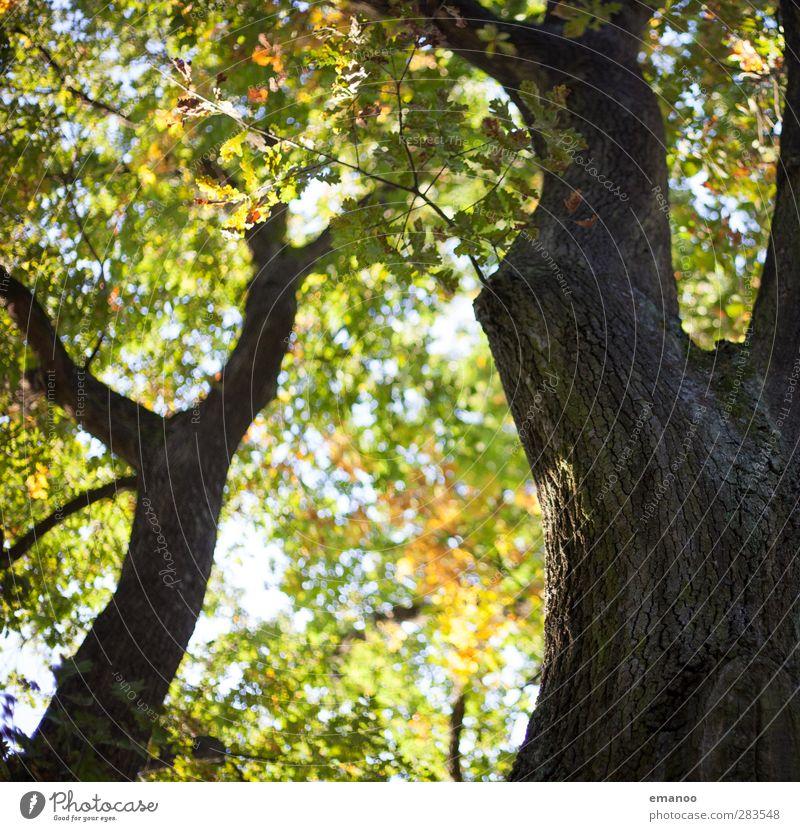 Herbstbaum Umwelt Natur Landschaft Pflanze Baum Blatt Garten Park Wald natürlich braun grün Baumrinde Baumstamm Ast Astgabel Eiche y Strukturen & Formen