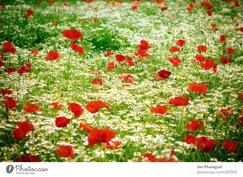 A Dream Of Spring Umwelt Natur Pflanze Blume Blüte Wildpflanze Wiese grün rot weiß Fröhlichkeit Begeisterung Leben Hoffnung träumen Mohn Farbfoto Außenaufnahme