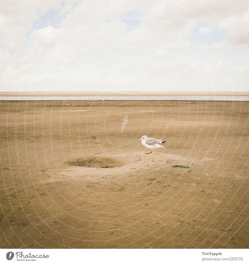Gemeine Lochmöwe (Chroicocephalus lacunae) Strand Natur Möwe Lachmöwe Sand Sandstrand Tier Vogel Meeresvogel Langeoog Nordsee Nordseeinsel Horizont bizarr